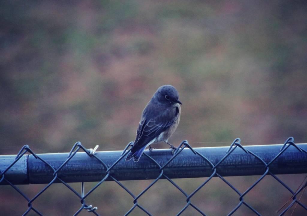 Bluebirds in North Idaho